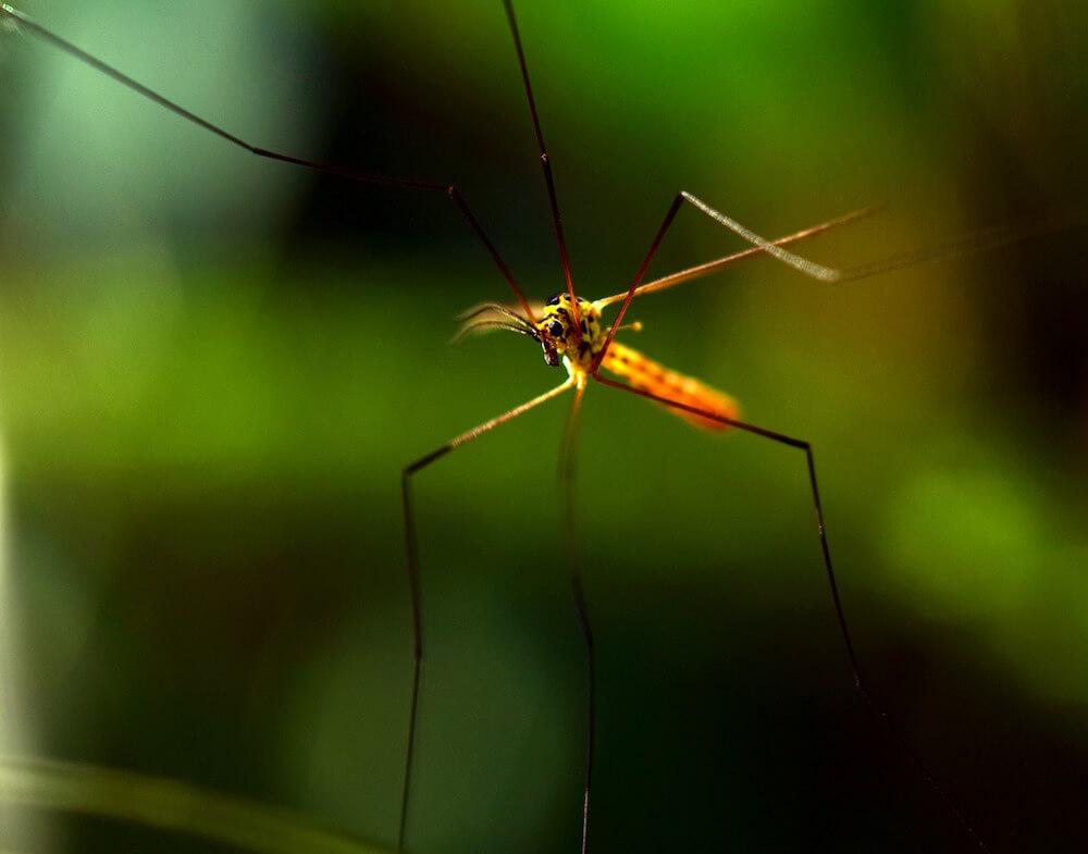 Mosquito Gospel