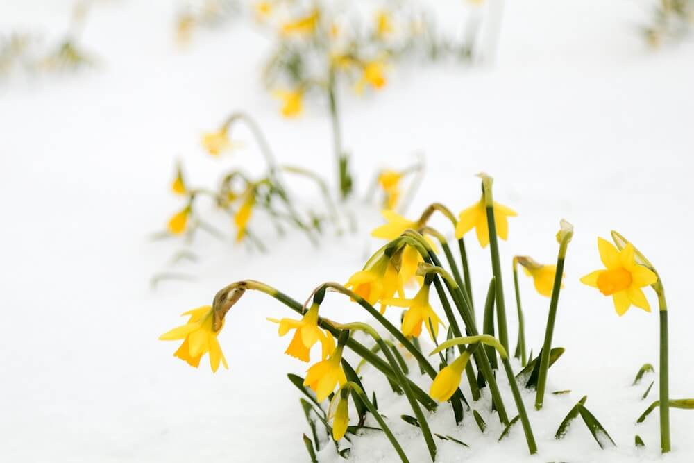 Daffodil Road