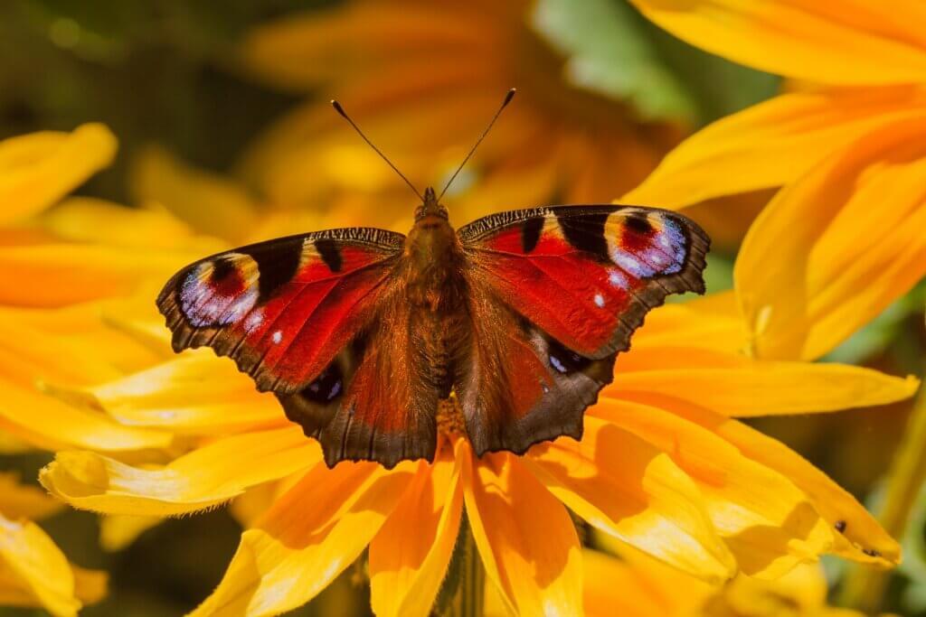Misfits of the Animal Kingdom: Butterflies