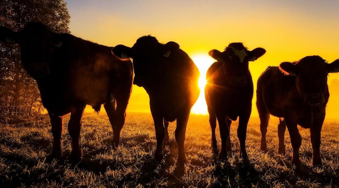 Showtime Cows